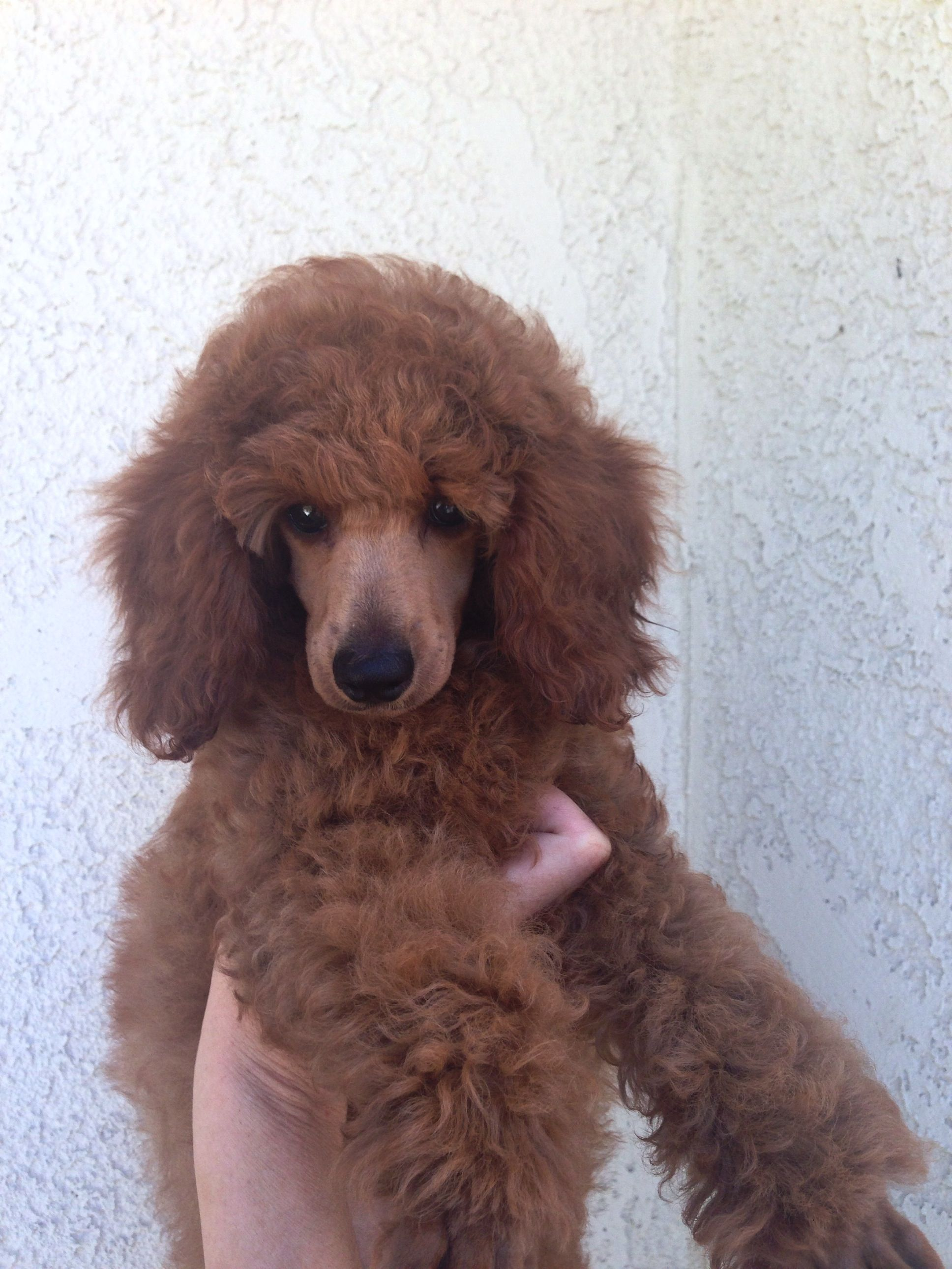 Pretty Long Ears At 11 Weeks West Coast Poodles Minipoodle Com