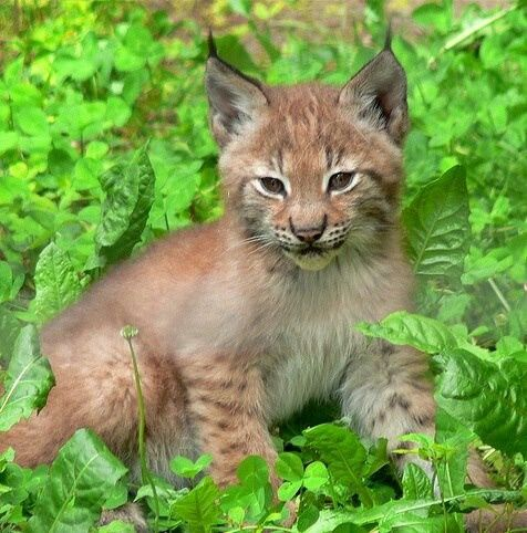 baby lynx cat Lynx baby Animals, Baby cats, Cute animals