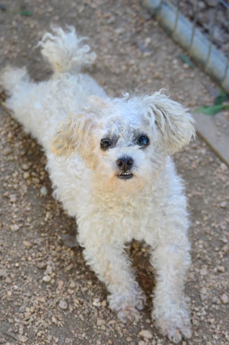 Adopt Sparky On Dogs Bichon Frise Pets