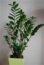 Zamiokulkas Zamiolistny Pielegnacja Rozmnazanie Choroby Perfect Plants Plant Leaves House Plants
