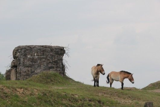 #bunker #archaeology Döberitzer Heath, where Mongolian horses graze next to bunkers: nature made by the military.
