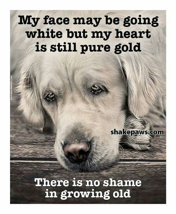 Pin By Pat Bendery On Animals Very Big Dog Old Dogs Dog Memes