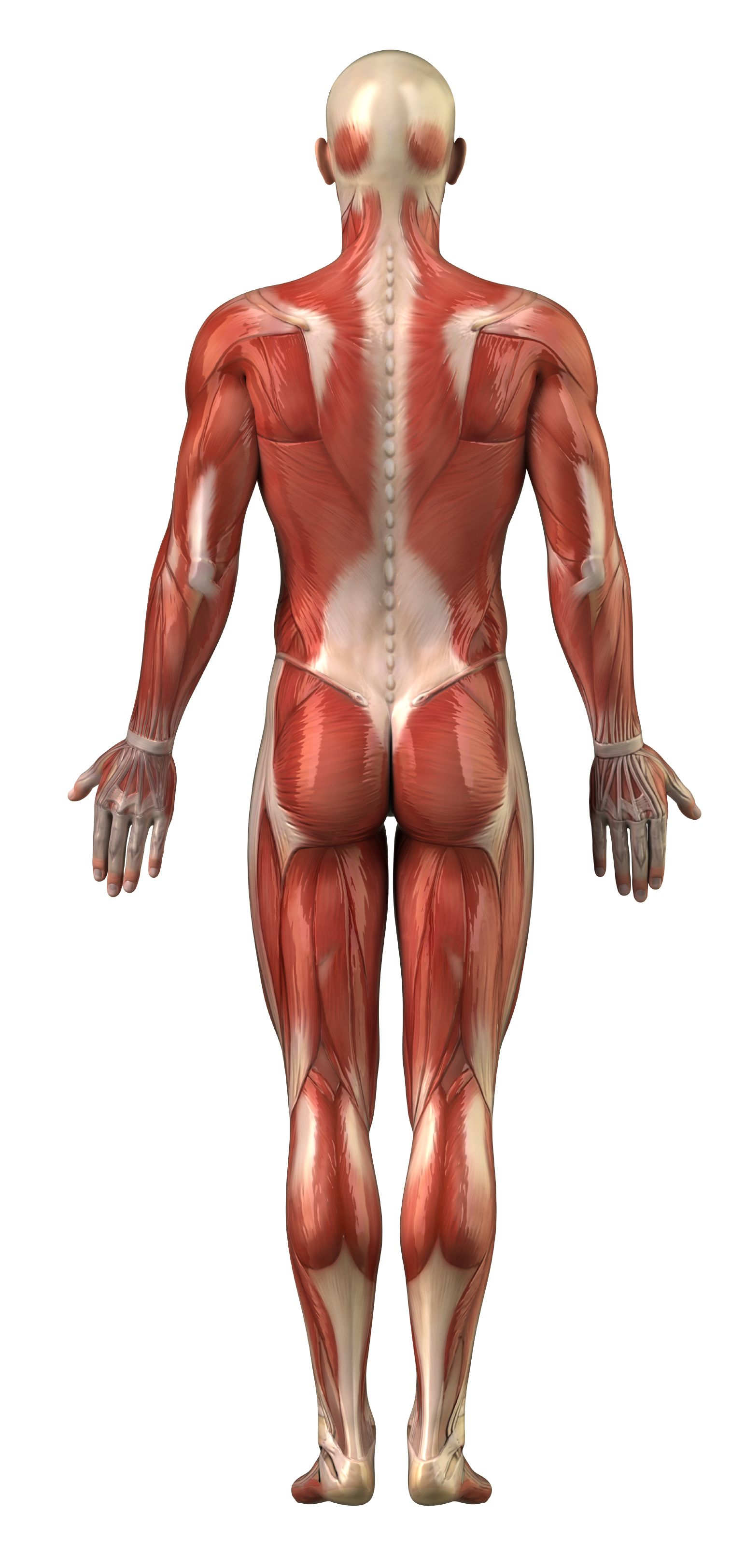 body muscles back view - want an all natural body builder to show, Muscles