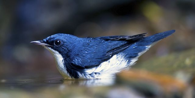 Birds Of A Feather Robin Siberian Bird Types