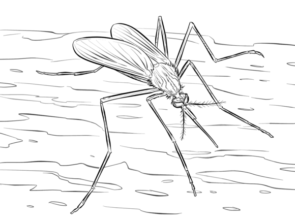 Mosquito Culiseta Longiareolata Coloring Page Free Printable Coloring Pages Printable Crafts Coloring Pages Insects