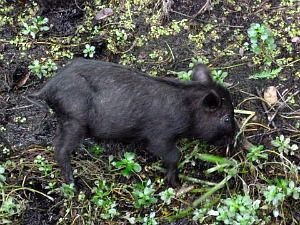 Tiny Wild Black Baby Pig Foraging Searching For Food In A Florida Swamp