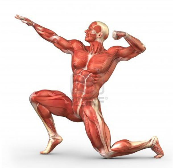 interesting facts about muscles | interesting facts | pinterest, Muscles