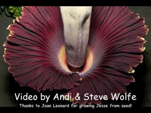 Giant Corpse Flower Bloom Time Lapse From Two Views Youtube Corpse Flower Bloom Corpse Flower Botanical Gardens