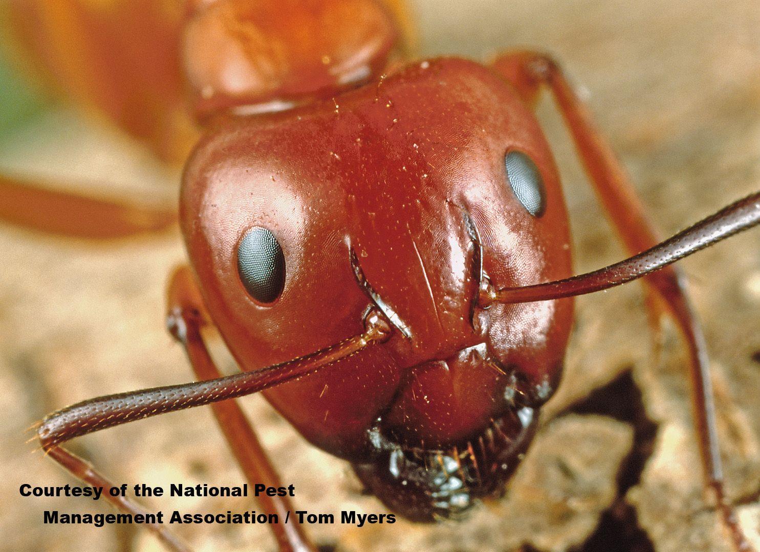 Carpenter Ants Require A Water Source To Prevent Black Carpenter
