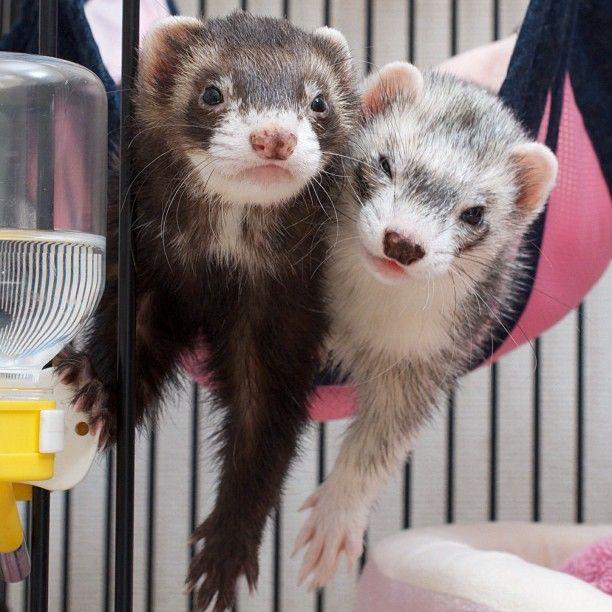 Just Two Ferrets In A Hammock Cute ferrets, Ferret, Cute