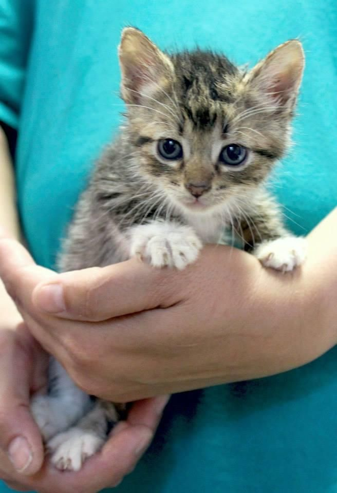 Meet Chinook, a Petfinder adoptable Domestic Short Hair Cat | Enterprise, AL | Chinook is a male grey tabby kittenBehavior and personalities are based on what we see here at the...
