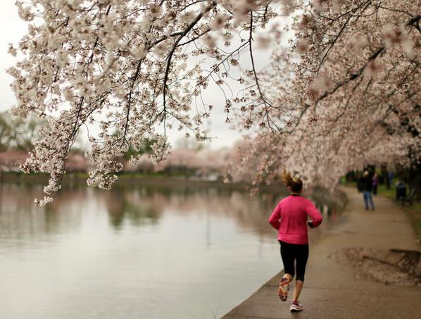 Cherry Blossom 10 Miler Cherry Blossom Festival Dc Cherry Blossom Cherry Blossom Festival
