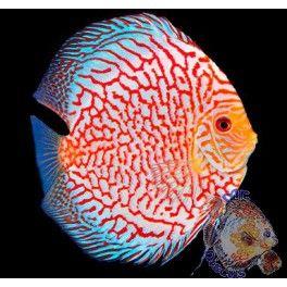 Pez Disco Pigeon Pattern Beautiful Fish Discus Fish Freshwater Aquarium Fish