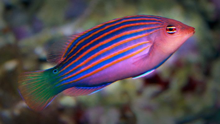 Six Line Wrasse Salt Water Fish Reef Safe Fish Saltwater Aquarium Fish