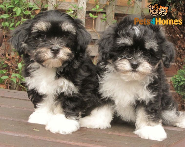 Maltese Cross Lhasa Apso Puppies Kyi Leo S Lhatese Lhasa Apso
