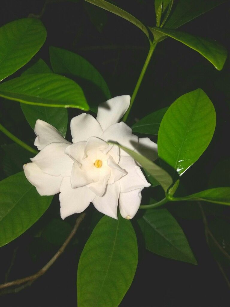 Gandharaja In 2020 Plant Leaves Flowers Gardenia