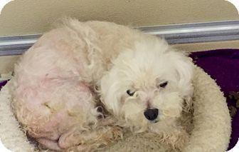 Lansing Mi Maltese Mix Meet Peanut Help A Dog For Adoption Dog Adoption Maltese Mix Pets