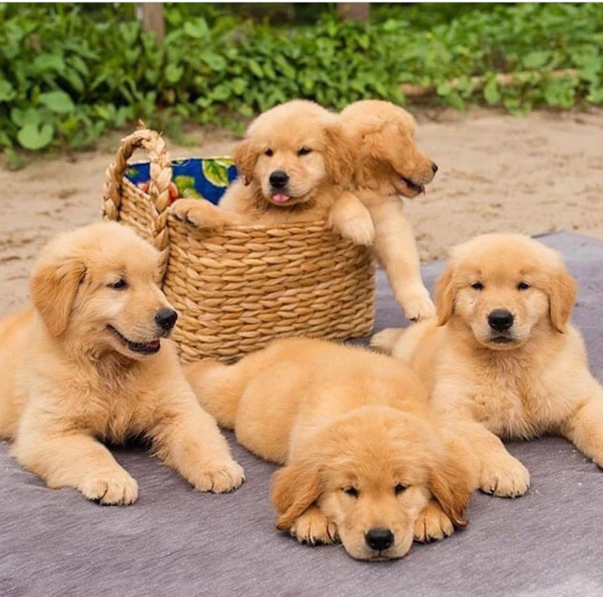 Pin By Catherine On Animal Awe Cute Dogs Cute Puppies Retriever Puppy