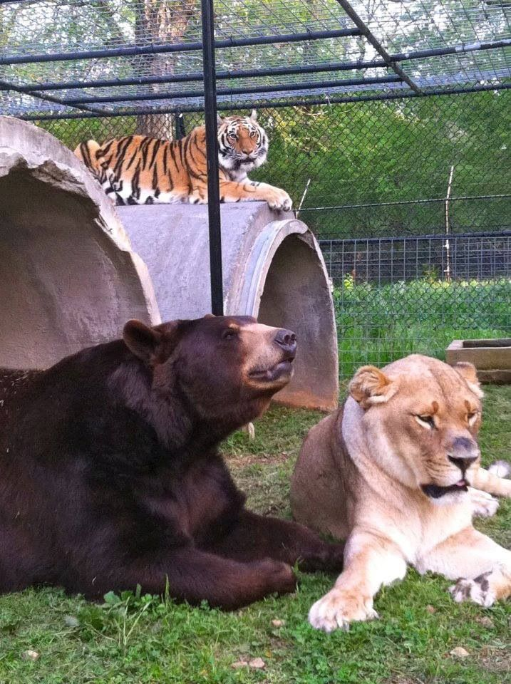 It's true! A bear, a lion and a tiger are best friends at