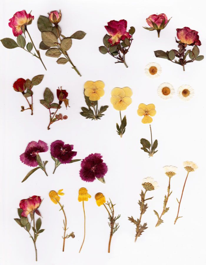 A collection of pressed paper thin flowers botanical pinterest a collection of pressed paper thin flowers mightylinksfo