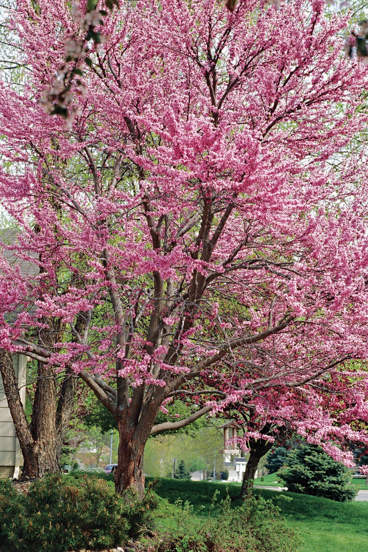 18 Small Trees That Will Add Tons Of Color To Your Landscape Redbud Tree Small Trees Ornamental Trees