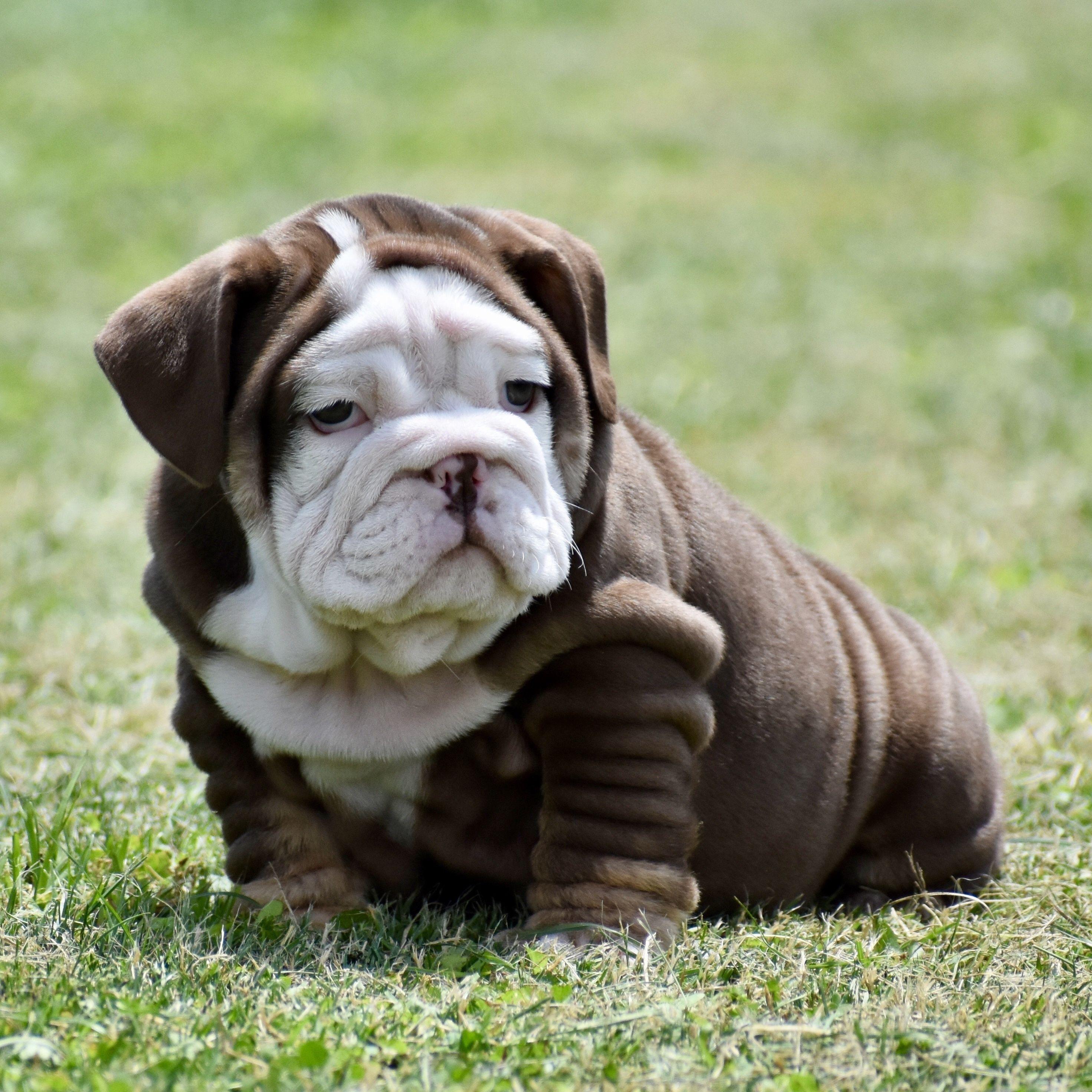 Chocolate English bulldog puppy Bulldog puppies, English