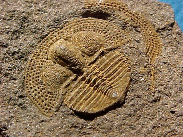Deanaspis goldfussi. 10 mm. Trilobita, Asaphida, Trinucleoidea, Trinucleidae…