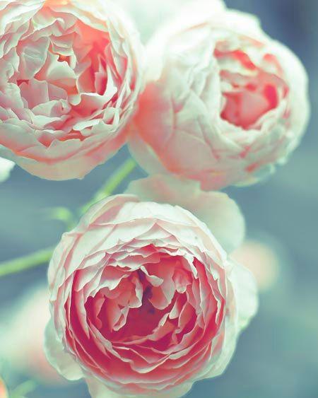 Flower photograph, pink roses blue green bokeh pastel pale summer home decor fine art photography 11x14. $50.00, via Etsy.