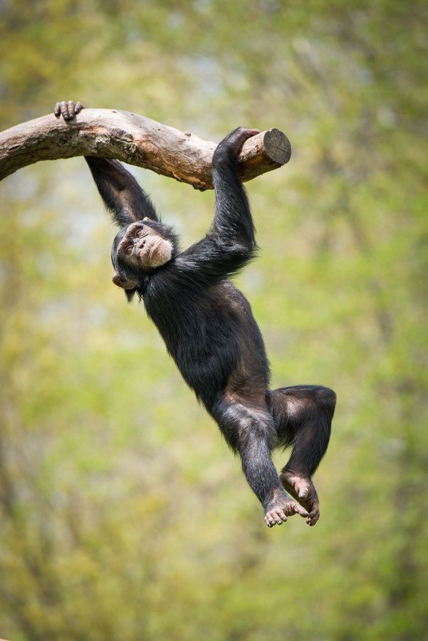 Swinging Chimp II by Abeselom Zerit on 500px