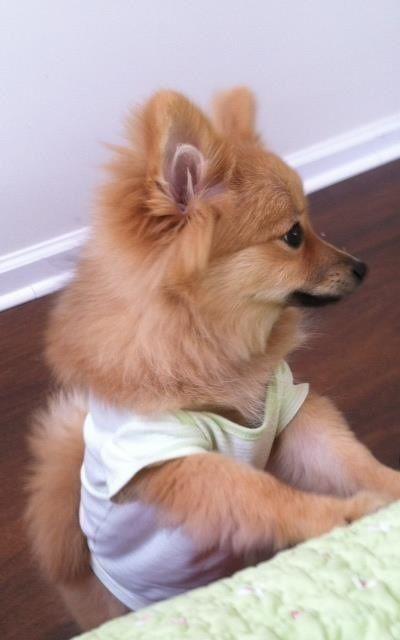 Gia: my precious little Pomeranian