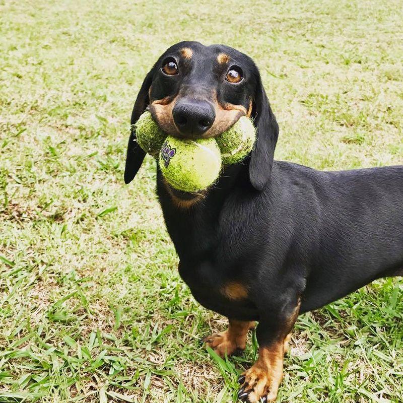 Dachshund Rescue Australia Sausage Dog Wiener Dog Doxie Poodle