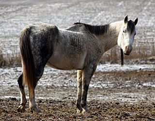 Diets Evaluated For Refeeding Starved Horses Older Horses