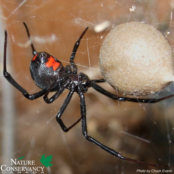 Today S Spookyspecies Is The Black Widow Spider Fact A Black Widow S Venom Is 15 Times More Poisonous Than Black Widow Spider Poisonous Spiders Spider Bites