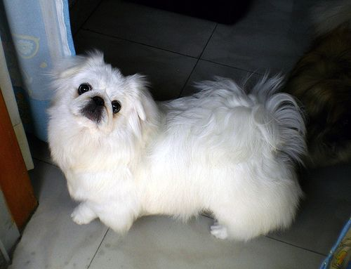 Pekingese Puppies New Dog Funny Pet Pictures Dogs Cats Birds Hamsters And More Pekingese Dogs Puppies Pekingese Puppies Pekingese