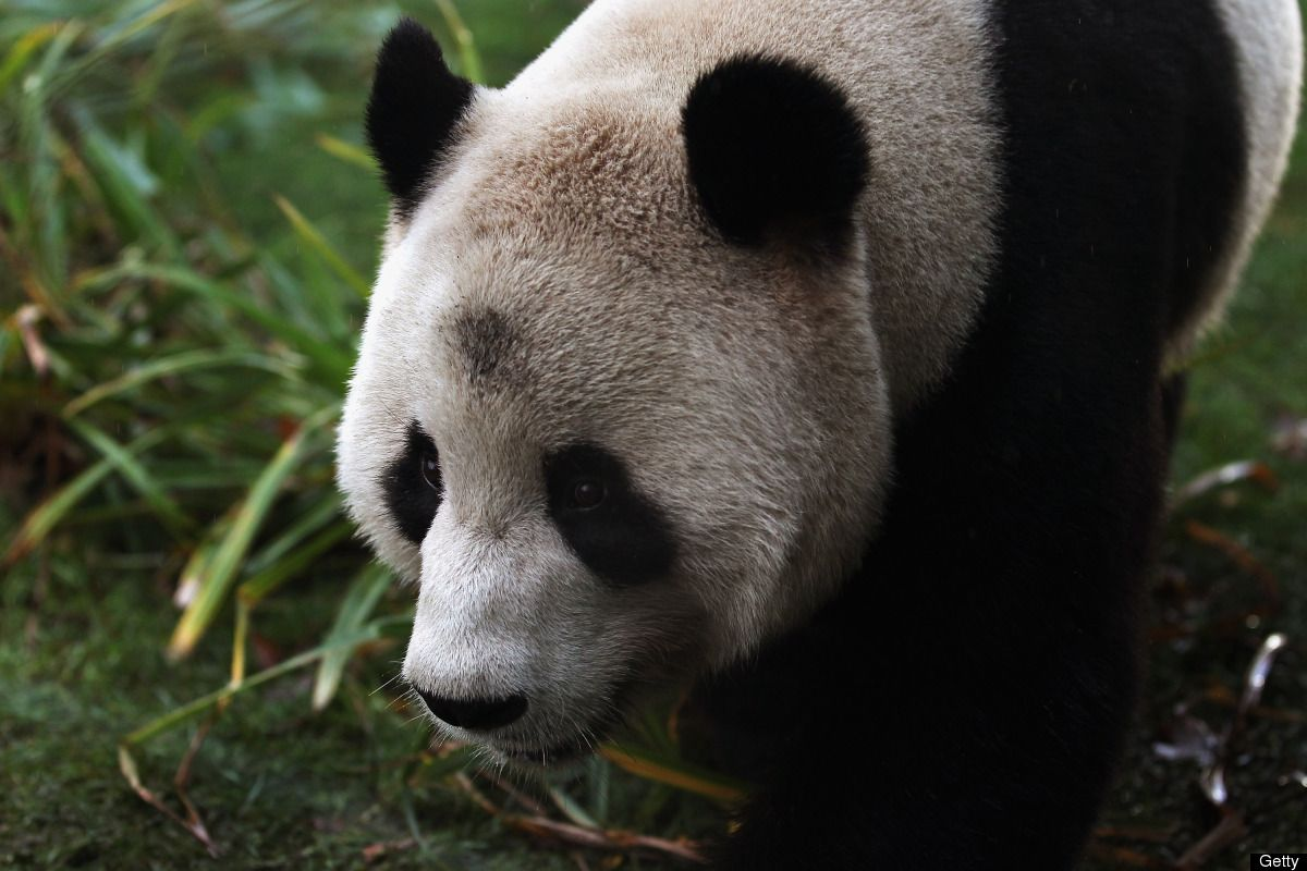 Edinburgh Zoo Pandas Panda, Animals, Panda bear