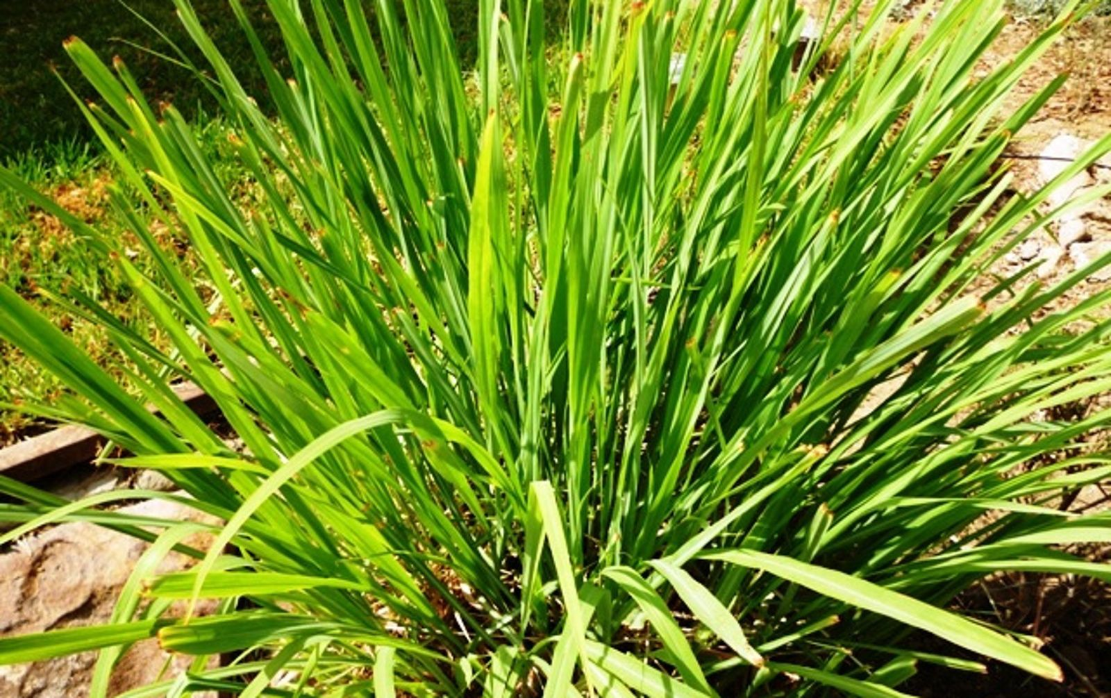 How To Grow Lemongrass And Put It To Good Use Lemongrass Plant Grow Lemongrass Plants