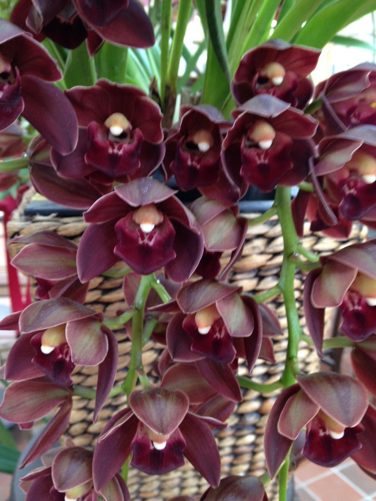 Burgandy cymbidium orchid orchids pinterest cymbidium orchids