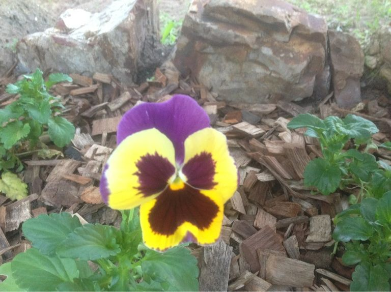 Pansy from my garden.