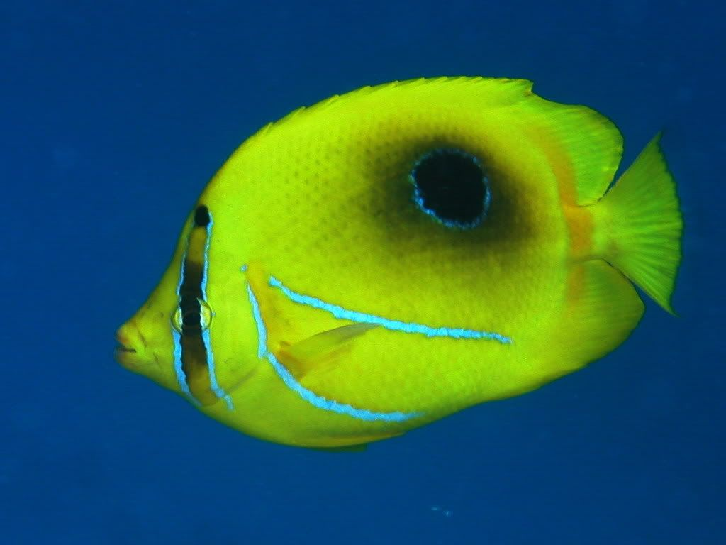 Tropical fish looks like a black hole with bright yellow for Yellow tropical fish