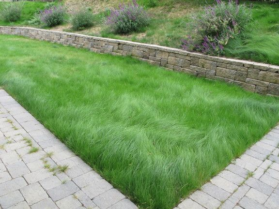 Eco lawn low maintenance drought for Best low maintenance grass