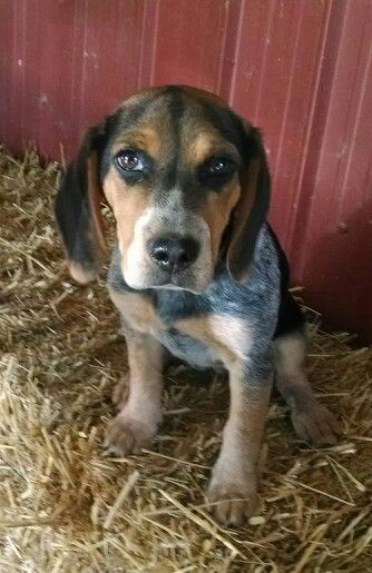 4 Mo Old Bluetick Female Beagle We Bred Beagle Dog Beagle Baby