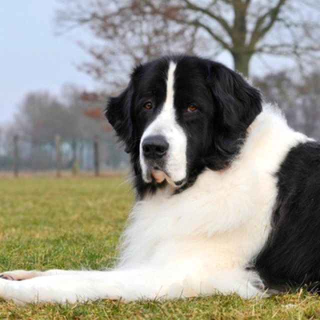 Newfoundland Dog Newfoundland Dog Dog Breeds Quiet Dog Breeds