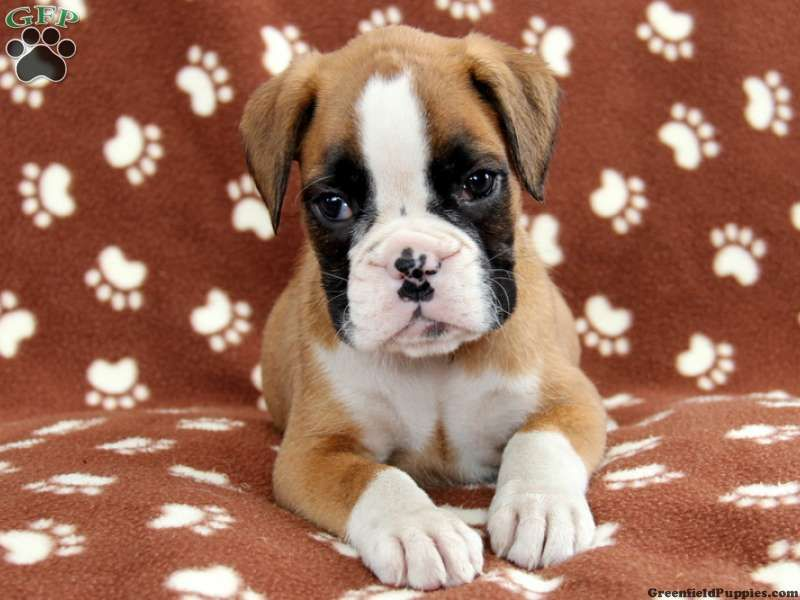 Rhonda Boxer Puppy For Sale In Bird In Hand Pa Boxer Puppies