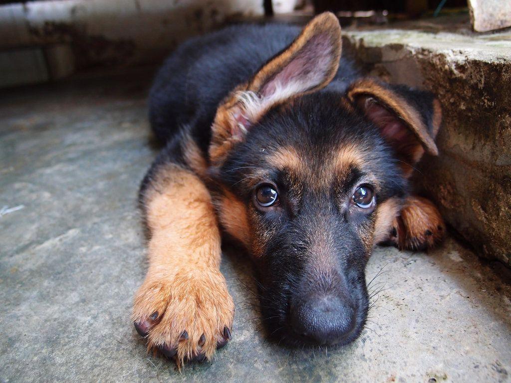 Dog food comparison chart german shepherd puppies