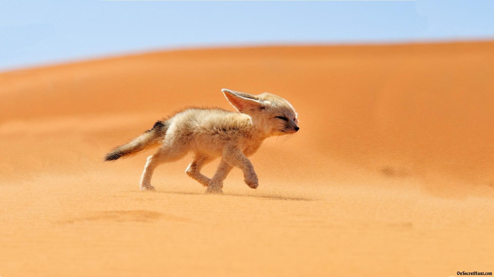Fennec fox is cute animal &amp- can be adopted as exotic pet