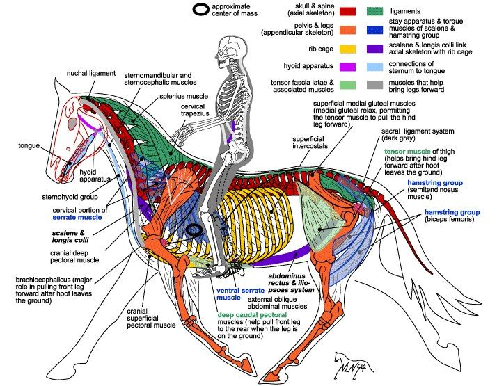 Great Diagram Showing The Muscular Skeletal System Of The Horse And