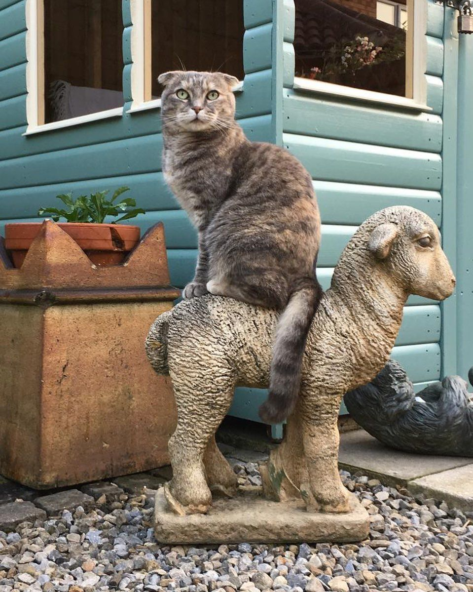 Great Day For A Ride Sheep Lamb Fun Garden Scottish Fold Gallery Pretty Cats Cute Animals Cat Lovers
