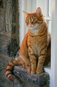 Orange Tabby Cats Tabby Cat Cats And Kittens