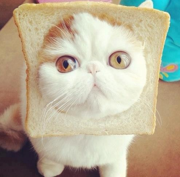 I Want An Exotic Shorthair So Badbut Not One With Bread On It That Would Be Bad