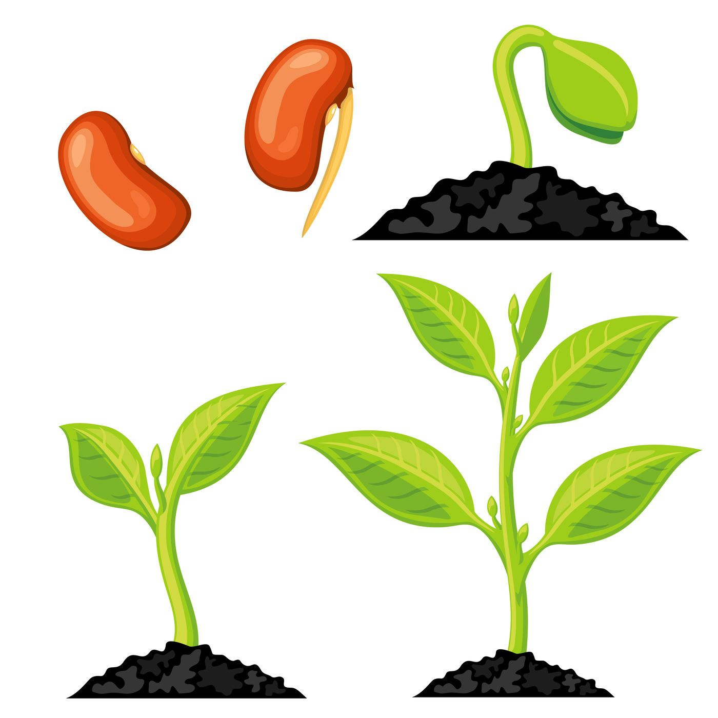 Plant Growth Stages From Seed To Sprout Vector Illustration By Microvector Thehungryjpeg Com Stages Affiliate Seed P Plant Growth Plants Plant Drawing [ 1400 x 1400 Pixel ]